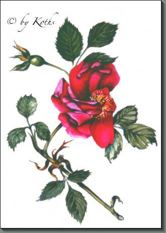 Rosa Gallica Officinalis (Apothecary's Rose)