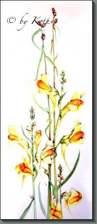 Butter and Eggs /  Linaria vulgaris